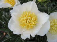 Paeonia lactiflora Jan van Leeuwen - 3 litre pot