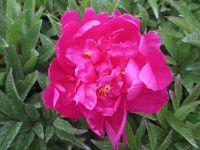 Paeonia lactiflora Karl Rosenfield - 3 litre pot