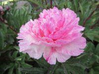 Paeonia lactiflora The Fawn - 3 litre pot