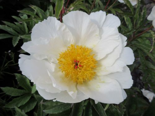 Paeonia lactiflora White Wings - 3 litre pot
