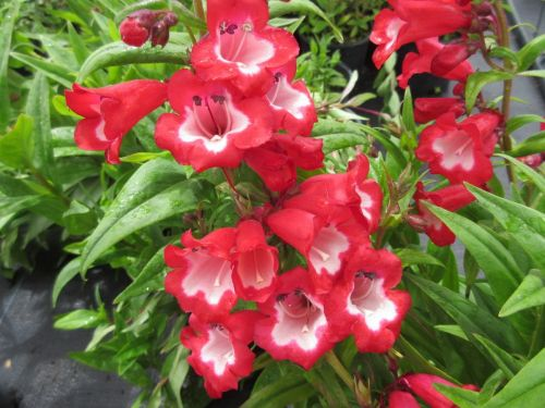 Penstemon Arabesque Red - 2 litre pot