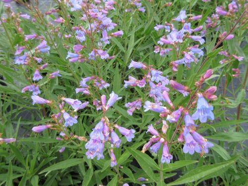 Penstemon heterophyllus Heavenly Blue - 2 litre pot