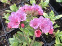 Pulmonaria Pretty in Pink - 9cm pot