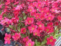 Saxifraga Pixi Pan Red - 9cm pot