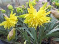 Narcissus Rip van Winkle - 9cm pot