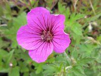 Geranium Patricia - 9cm pot