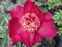Paeonia lactiflora Nippon Beauty - 3 litre pot