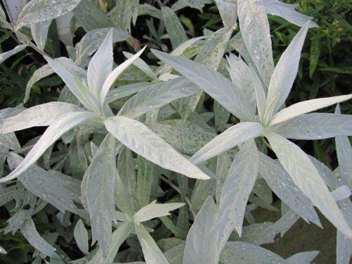 Artemisia ludoviciana Valerie Finnis - 9cm pot