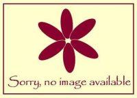 Dianthus Fizzy - 9cm pot
