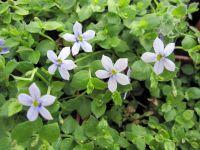 Pratia pedunculata - 9cm pot