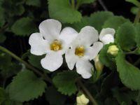 Bacopa (Chaenostoma) Snowtopia White - 9cm pot