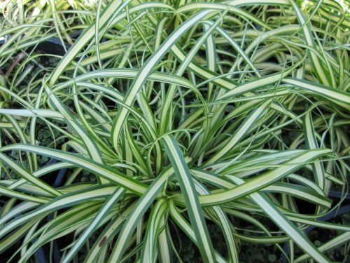 Carex oshimensis Evergold - 9cm pot
