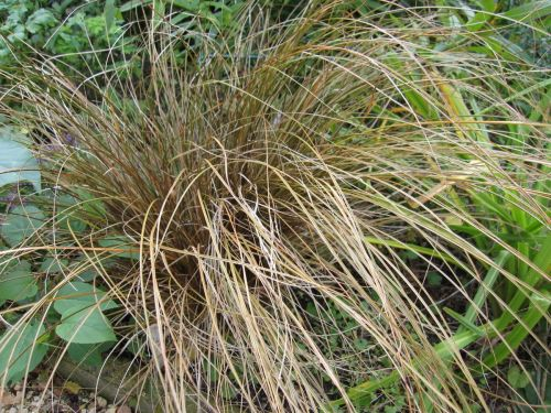Carex testacea Prairie Fire - 9cm pot