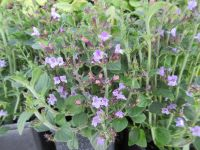 Calamintha nepeta Marvelette Blue - 9cm pot