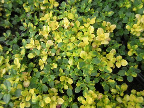 Thymus Doone Valley - 9cm pot