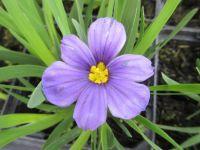 Sisyrinchium idahoense var. bellum Rocky Point - 9cm pot