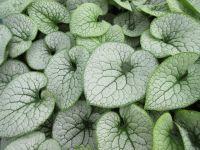 Brunnera macrophylla Sterling Silver - 9cm pot