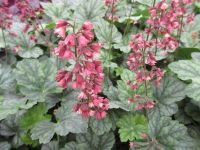 Heuchera Berry Timeless - 9cm pot