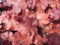Heuchera Forever Red - 9cm pot