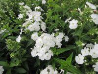 Phlox paniculata Sweet Summer White - 9cm pot