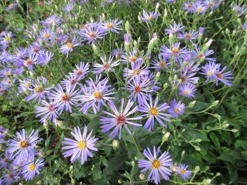 Aster macrophyllus Twilight (Eurybia x herveyi) - 9cm pot
