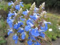 Salvia uliginosa - 2 litre pot