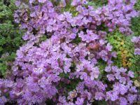 Thymus serpyllum Elfin - 9cm pot