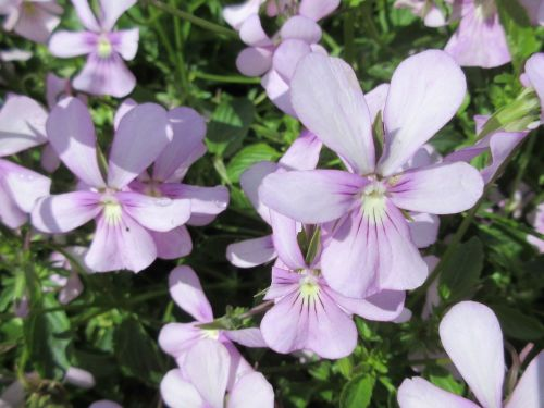 Viola cornuta Victoria's Blush - 9cm pot