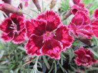 Dianthus Cherry Burst - 9cm pot