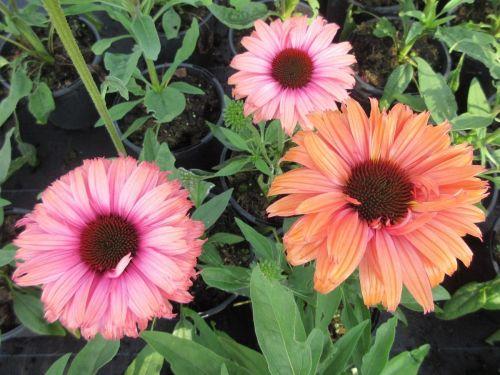 Echinacea SunSeekers Rainbow - 2 litre pot