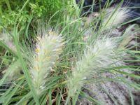 Pennisetum villosum - 2 litre pot