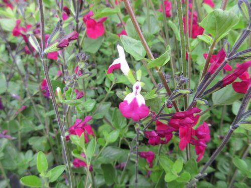 Salvia Cherry Lips - 2 litre pot