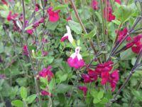 Salvia Cherry Lips - 9cm pot