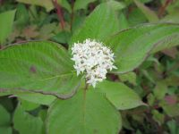 Cornus alba Sibirica - 3 litre pot