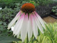 Echinacea Pretty Parasols - 9cm pot
