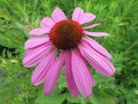 Echinacea purpurea Prairie Splendor - 2 litre pot