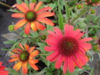 Echinacea SunSeekers Coral -  2 litre pot