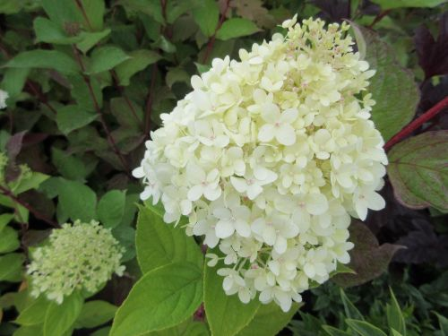 Hydrangea paniculata Limelight - 3 litre pot