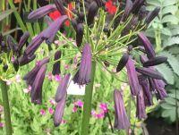 Agapanthus Black Magic - 9cm pot