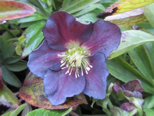 Helleborus x hybridus Pretty Ellen Purple - 9cm pot