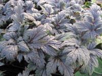 Actaea simplex Atropurpurea Group Brunette - 9cm pot