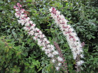Actaea simplex Atropurpurea Group - 9cm pot