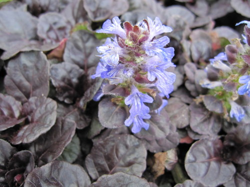 Ajuga reptans Black Scallop - 9cm pot