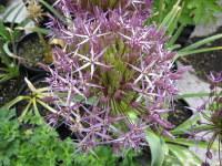 Allium cristophii - 2 litre pot