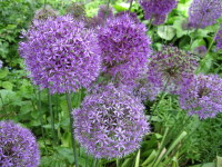 Allium hollandicum Purple Sensation - 2 litre pot