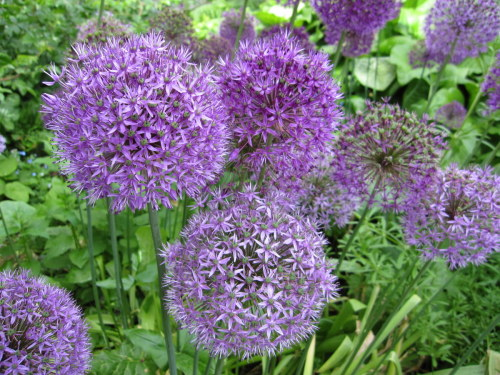 Allium hollandicum 'Purple Sensation' - 2 litre pot