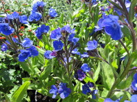 Anchusa azurea Loddon Royalist - 2 litre pot