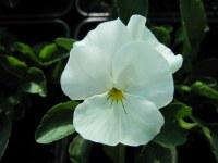 Viola Mrs Lancaster - 9cm pot
