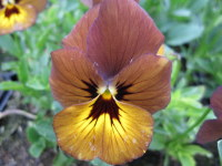 Viola Irish Molly - 9cm pot