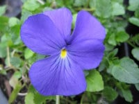 Viola Inverurie Beauty - 9cm pot
